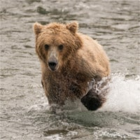 photodune-12466794-bear-splashing-through-river-with-paw-raised-xs.jpg