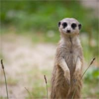 photodune-1643821-watchful-meerkat-standing-guard-xs.jpg