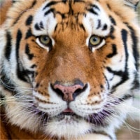photodune-2288899-tigers-face-xs (1).jpg