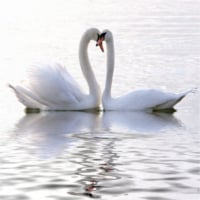 photodune-3621132-swans-in-love-xs.jpg