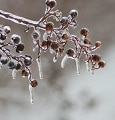 """Winter Berries: photo credit: <a href=""""http://www.flickr.com/photos/townandcount"""